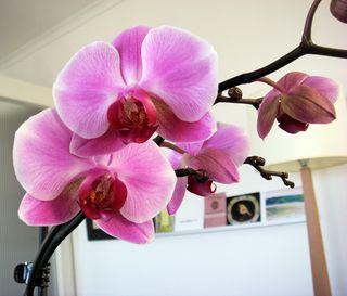 Plain_pink_orchid