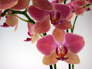 New_orchid2