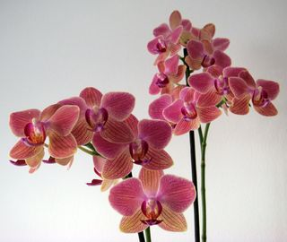 New_orchid1