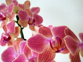 New_orchid3