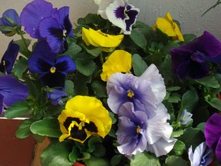 Balcony_pansies