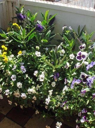Balcony_flowers