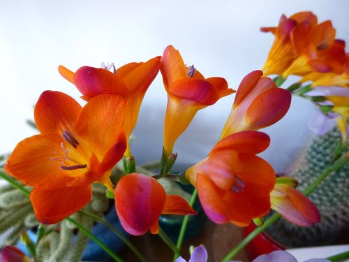 Freesias_2