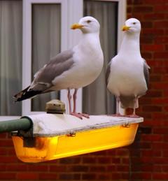 Seagulls_1