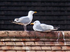 Two_seagulls_16_april_2008